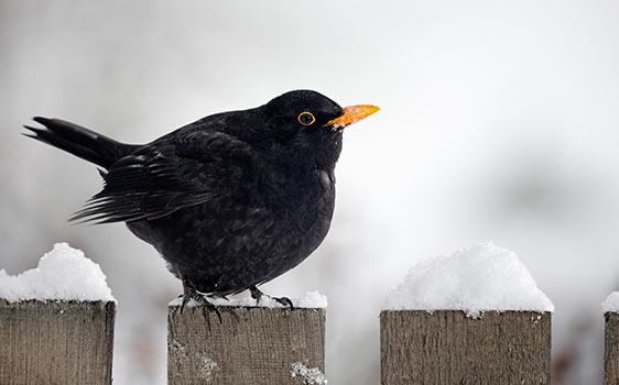 Tiere im Winter Amsel